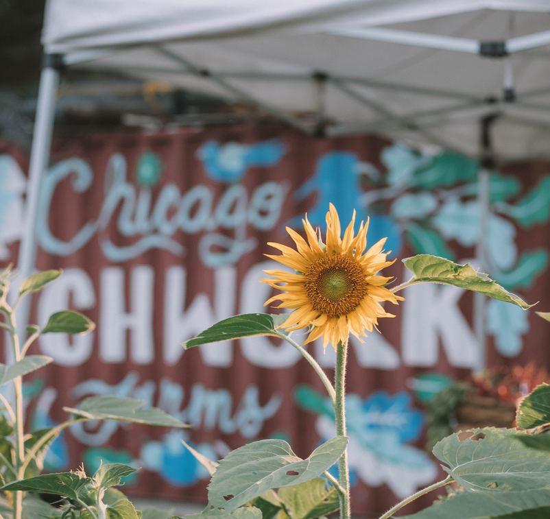 sunflower in urban farm